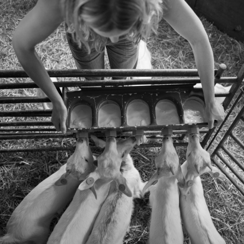 rearing goats for meat